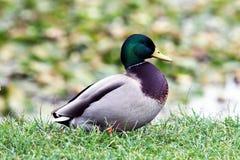 Ο πρασινολαίμης ή τα αγριόχηνα Στοκ εικόνα με δικαίωμα ελεύθερης χρήσης