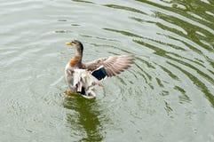 Ο πρασινολαίμης διέδωσε τα φτερά του Στοκ φωτογραφία με δικαίωμα ελεύθερης χρήσης