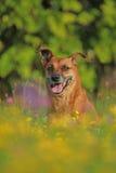Ο πρεσβύτερος το σκυλί φυλής στον τομέα λουλουδιών Στοκ Εικόνες