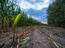Ο πρόσφατα καλλιεργημένος οργανικός τομέας καλαμποκιού για τη βιομάζα στο νεφελώδες θερινό βράδυ με το ηλιοβασίλεμα χρωματίζει -  στοκ φωτογραφία με δικαίωμα ελεύθερης χρήσης
