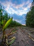 Ο πρόσφατα καλλιεργημένος οργανικός τομέας καλαμποκιού για τη βιομάζα στο νεφελώδες θερινό βράδυ με το ηλιοβασίλεμα χρωματίζει -  στοκ φωτογραφία