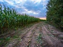 Ο πρόσφατα καλλιεργημένος οργανικός τομέας καλαμποκιού για τη βιομάζα στο νεφελώδες θερινό βράδυ με το ηλιοβασίλεμα χρωματίζει -  στοκ εικόνες