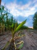 Ο πρόσφατα καλλιεργημένος οργανικός τομέας καλαμποκιού για τη βιομάζα στο νεφελώδες θερινό βράδυ με το ηλιοβασίλεμα χρωματίζει -  στοκ φωτογραφίες με δικαίωμα ελεύθερης χρήσης