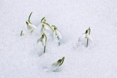 ο πρώτος ανθίζει snowdrops Στοκ Φωτογραφία