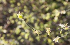 Ο πρώτος κλάδος άνοιξη με τα φρέσκα ευγενή πράσινα φύλλα Στοκ εικόνες με δικαίωμα ελεύθερης χρήσης