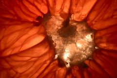 Ο πυρήνας του γκρέιπφρουτ που κόβεται με τα κύτταρα στη μέση φρούτων στοκ φωτογραφία