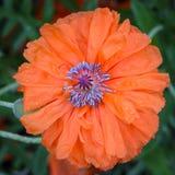 Ο πυρήνας του λουλουδιού είναι κόκκινη παπαρούνα με πολλά stamens στοκ εικόνα