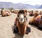 Ο πυροβολισμός κινηματογραφήσεων σε πρώτο πλάνο ενός βακτριανού είδους διπλασίου η καμήλα Στοκ Φωτογραφίες