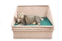 Η παχιά ταϊλανδική γάτα βάζει στο κρεβάτι Στοκ Φωτογραφίες