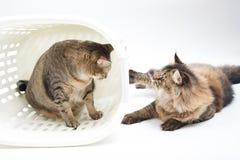 Η παχιά ταϊλανδική γάτα και η περσική γάτα παίζουν μαζί με το καλάθι Στοκ Εικόνες