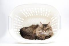 Η περσική γάτα βάζει μέσα στο καλάθι Στοκ Εικόνες