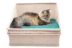 Η περσική γάτα βάζει στο κρεβάτι Στοκ φωτογραφίες με δικαίωμα ελεύθερης χρήσης