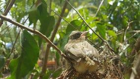 Ο ράβδωση-έχων νώτα bulbul (blanfordi Pycnonotus) Στοκ εικόνες με δικαίωμα ελεύθερης χρήσης