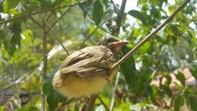 Ο ράβδωση-έχων νώτα bulbul (blanfordi Pycnonotus) Στοκ φωτογραφία με δικαίωμα ελεύθερης χρήσης