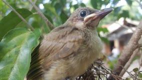 Ο ράβδωση-έχων νώτα bulbul (blanfordi Pycnonotus) Στοκ Φωτογραφίες