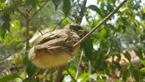 Ο ράβδωση-έχων νώτα bulbul (blanfordi Pycnonotus) Στοκ Εικόνες
