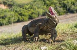 Ο δράκος Komodo αύξησε το κεφάλι και άνοιξε ένα στόμα στοκ φωτογραφία