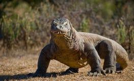 Ο δράκος Komodo είναι στο έδαφος Ινδονησία Εθνικό πάρκο Komodo στοκ εικόνες
