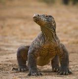 Ο δράκος Komodo είναι στο έδαφος Ινδονησία Εθνικό πάρκο Komodo στοκ φωτογραφία