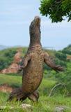 Ο δράκος Komodo στέκεται κατακόρυφα στα οπίσθια πόδια τους Ενδιαφέρουσα προοπτική Ο χαμηλός πυροβολισμός σημείου Ινδονησία στοκ φωτογραφία