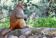 Ο ρήσος μακάκος macaque ή mulatta Macaca Στοκ Εικόνα