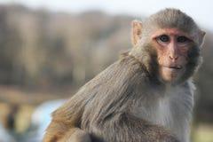 Ο ρήσος μακάκος macaque που κοιτάζει επίμονα Στοκ Φωτογραφία