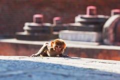 Ο ρήσος μακάκος macaque που κοιτάζει επίμονα Στοκ Εικόνες