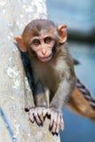 Ο ρήσος μακάκος macaque που κοιτάζει επίμονα Στοκ Φωτογραφίες