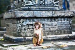 Ο ρήσος μακάκος macaque που κοιτάζει επίμονα Στοκ φωτογραφία με δικαίωμα ελεύθερης χρήσης