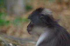 Ο ρήσος μακάκος macaque που κοιτάζει επίμονα Στοκ εικόνα με δικαίωμα ελεύθερης χρήσης