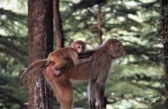 Ο ρήσος μακάκος Macaques - πίθηκος Στοκ φωτογραφία με δικαίωμα ελεύθερης χρήσης