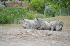 Ο ρινόκερος αγκαλιάζει στοργικά Στοκ Φωτογραφία