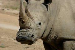 ο ρινόκερος κοιτάζει επί& Στοκ Φωτογραφία