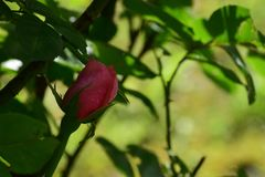 Ο ροδαλός που λούζεται στη δροσιά στοκ εικόνα