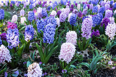 Ο ρόδινος και μπλε και πορφυρός υάκινθος καλλιεργεί την άνοιξη Στοκ εικόνες με δικαίωμα ελεύθερης χρήσης