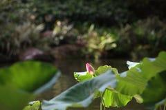 Ο ρόδινος οφθαλμός λουλουδιών λωτού στη λίμνη Στοκ εικόνες με δικαίωμα ελεύθερης χρήσης