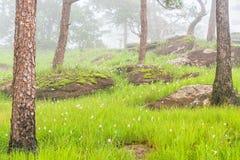Ο ρόδινος τομέας λουλουδιών με τον πράσινο βράχο λιβαδιών και βρύου στο δάσος πεύκων καλύφθηκε από την ομίχλη πρωινού Οροπέδιο Bo Στοκ Εικόνα