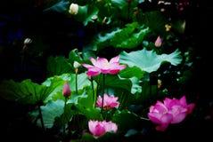 Ο ρόδινος λωτός Στοκ φωτογραφίες με δικαίωμα ελεύθερης χρήσης