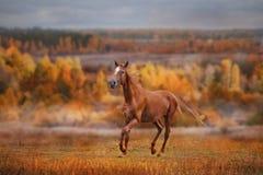 Ο Ρώσος φορά το άλογο Στοκ Φωτογραφία