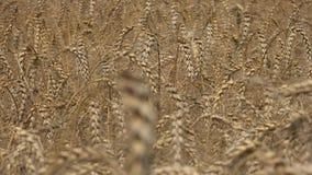 Ο σίτος είναι μια χλόη που καλλιεργείται ευρέως για το σπόρο του, ένα σιτάρι δημητριακών που είναι παγκόσμια βασικά τρόφιμα φιλμ μικρού μήκους