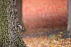 Ο σκίουρος αναρριχείται σε ένα δέντρο το φθινόπωρο στοκ εικόνα με δικαίωμα ελεύθερης χρήσης