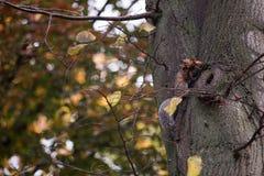 Ο σκίουρος αναρριχείται σε ένα δέντρο το φθινόπωρο στοκ εικόνα