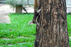 Ο σκίουρος αναρριχείται στο δέντρο Στοκ εικόνα με δικαίωμα ελεύθερης χρήσης