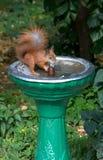 Ο σκίουρος αποσβήνει τη δίψα στην πηγή Στοκ Εικόνες