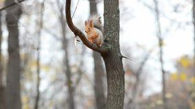 Ο σκίουρος κάθεται σε έναν κλάδο δέντρων φιλμ μικρού μήκους