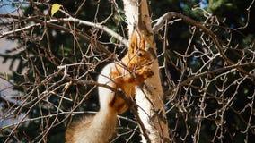 Ο σκίουρος κάθεται σε ένα δέντρο φιλμ μικρού μήκους