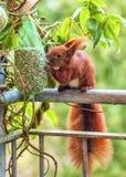 Ο σκίουρος κάθεται σε μια άκρη balcon Ρουθουνίζει και εξετάζει την πράσινη τσάντα με τα καρύδια που κρεμούν σε ένα δέντρο, για να Στοκ Εικόνες