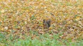 Ο σκίουρος κάθεται στα πεσμένα φύλλα στο έδαφος, τρώει το καρύδι Ο άγριος σκίουρος πηδά, κρατά το βελανίδι στα πόδια o απόθεμα βίντεο