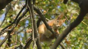 Ο σκίουρος κάθεται στους κλάδους των δέντρων, αναπνοές, κοιτάζει στο φακό ή η κάμερα, κλείνει επάνω Ο άγριος σκίουρος είναι άλμα, απόθεμα βίντεο