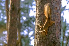 Ο σκίουρος κατεβαίνει κάτω από τον κορμό ενός δέντρου πεύκων Στοκ φωτογραφία με δικαίωμα ελεύθερης χρήσης